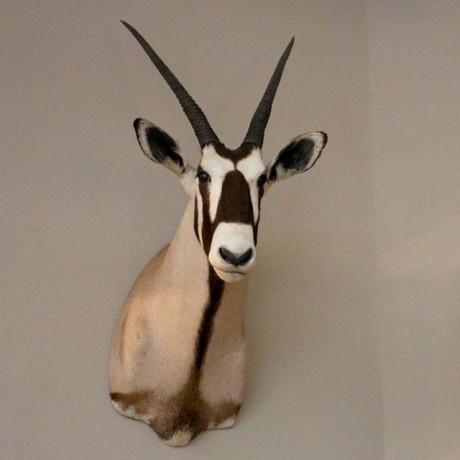 Antilope_Hunting_Trophy